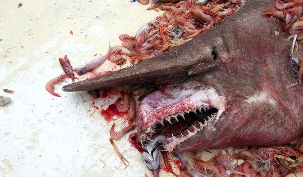 Фото: Акула гоблин, она же акула домовой