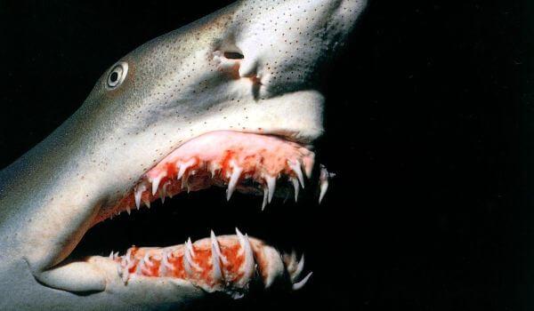 Фото: Акула гоблин