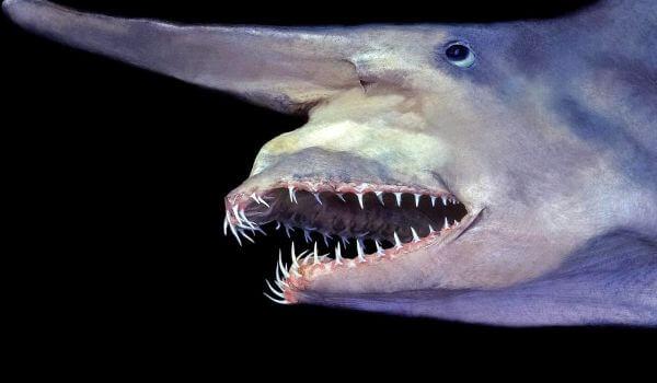 Фото: Глубоководная акула гоблин