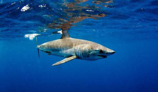 Фото: Акула мако