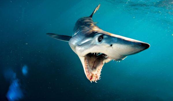 Фото: Опасная акула мако