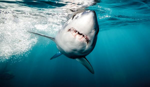 Фото: Акула мако в воде