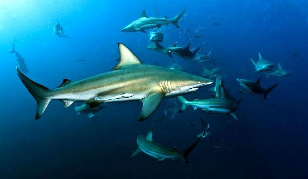 Фото: Акула мако из Красной книги