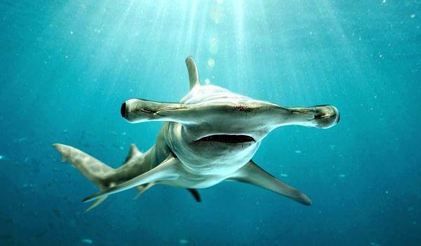 Фото: Акула молот