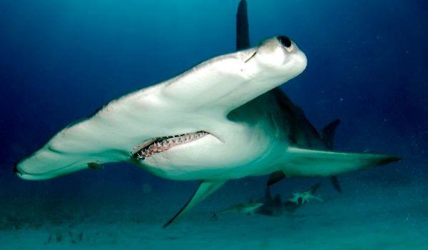 Фото: Гигантская акула молот