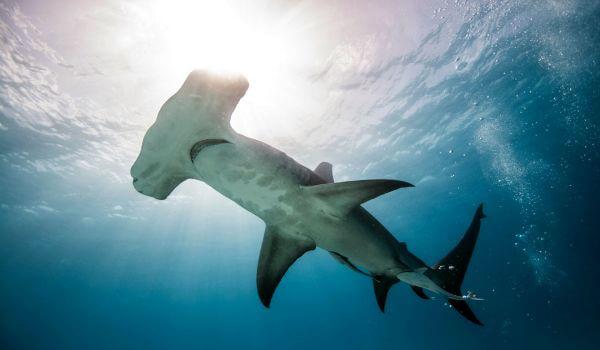 Фото: Рыба акула молот