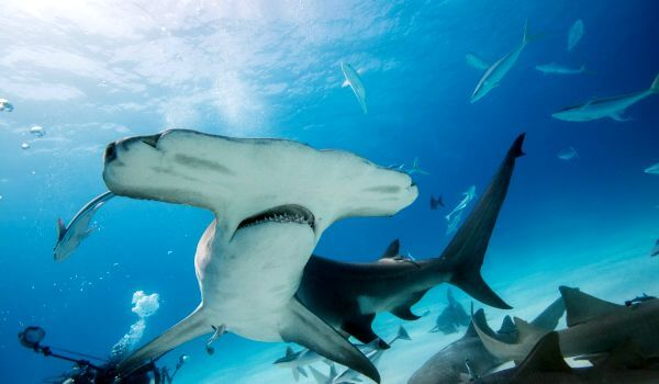 Фото: Опасная акула молот