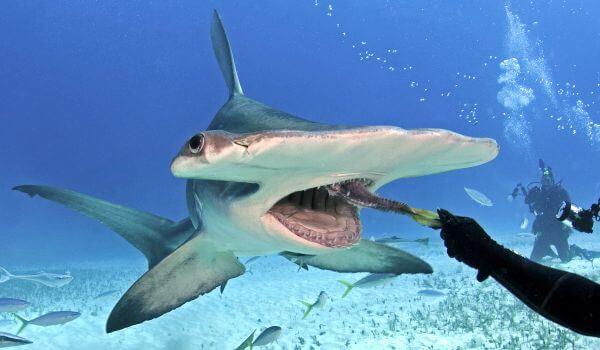 Фото: Большая акула молот