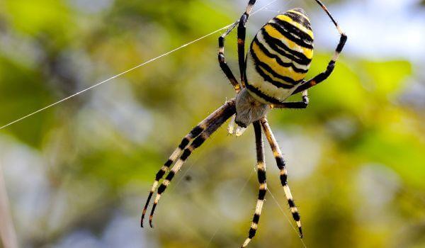 Фото: Ядовитый паук Аргиопа Брюнниха
