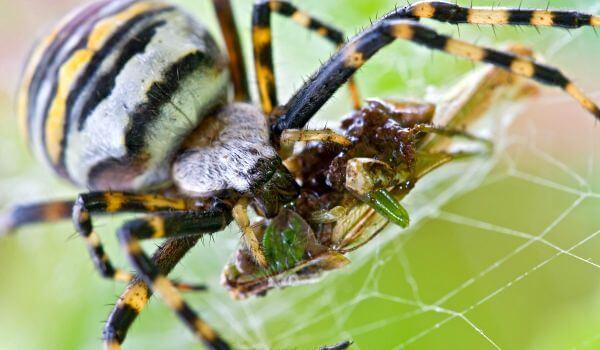 Фото: Аргиопа Брюнниха, или паук оса