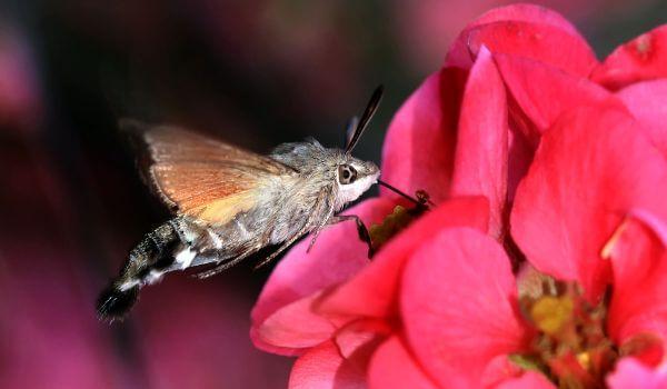 Фото: Ночная бабочка бражник