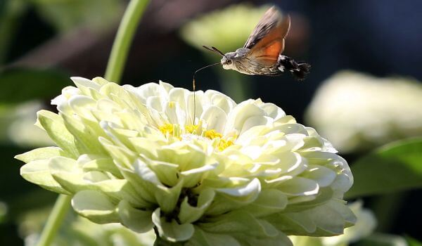 Фото: Бабочка бражник