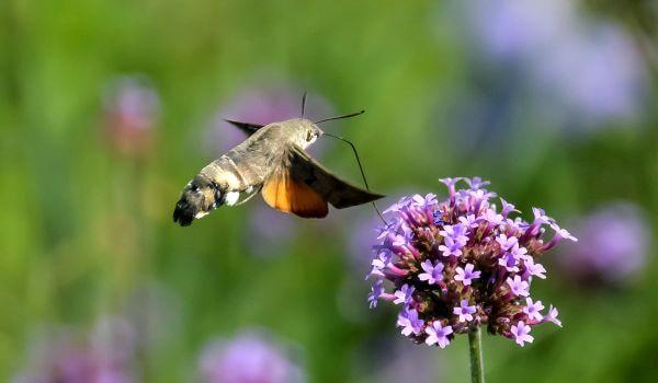 Фото: Бабочка бражник из Красной книги