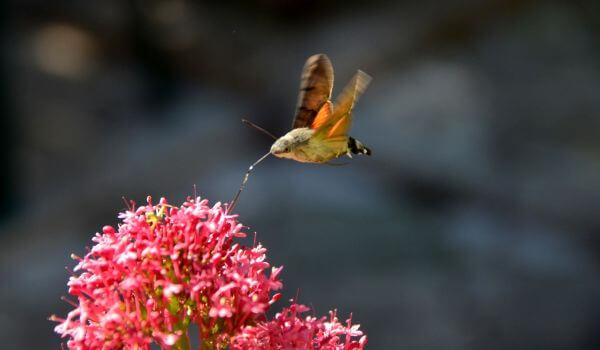Фото: Бабочка бражник в полете