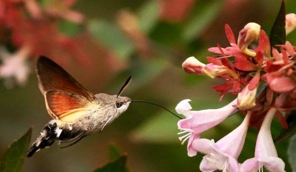 Фото: Бабочка бражник похожая на колибри