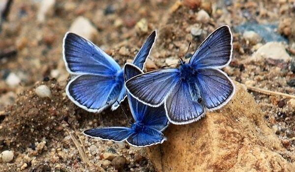 Фото: Бабочки голубянки