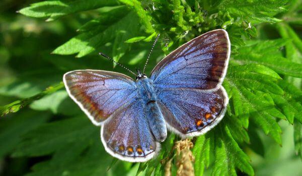 Фото: Бабочка голубянка