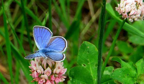 Фото: Бабочка голубянка на цветке