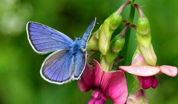 Фото: Бабочка голубянка икар