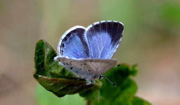 Фото: Бабочка голубянка из Красной книги