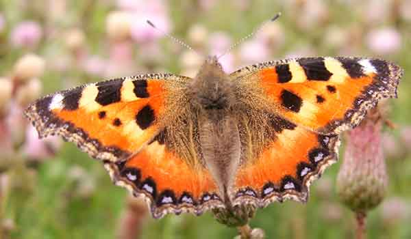 На что похожа бабочка крапивница thumbnail