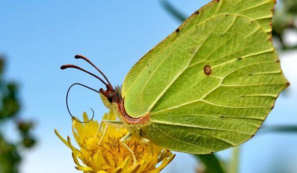 Фото: Бабочка лимонница весной