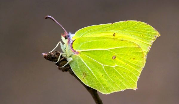 Фото: Желтая бабочка лимонница