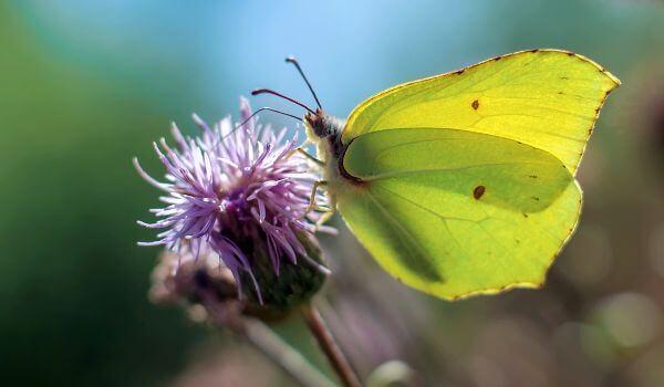 Фото: Бабочка крушинница