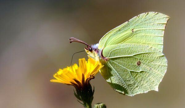 Фото: Бабочка лимонница