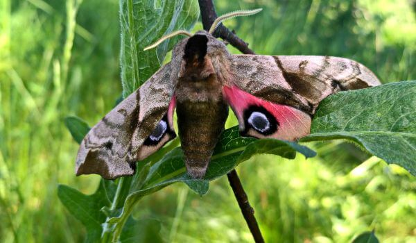 Фото: Бабочка бражник мертвая голова