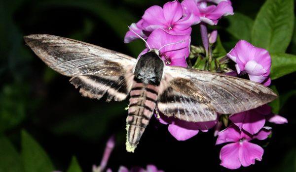 Фото: Ночная бабочка мертвая голова