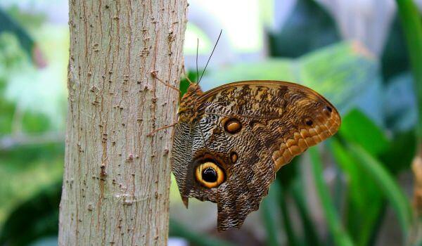 Фото: Бабочка мертвая голова