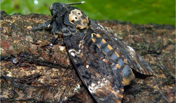 Фото: Бабочка адамова голова