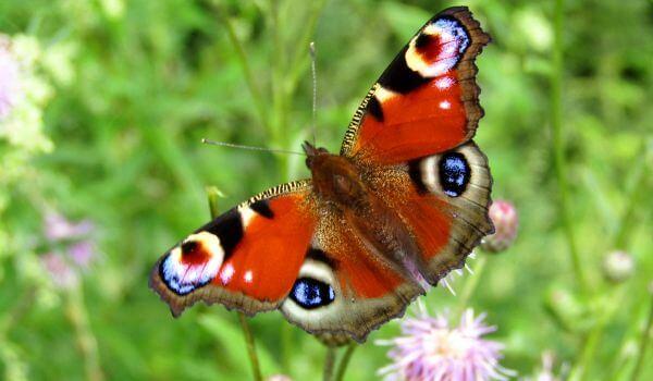 Фото: Бабочка дневной павлиний глаз