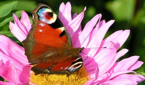 Фото: Бабочка ночной павлиний глаз