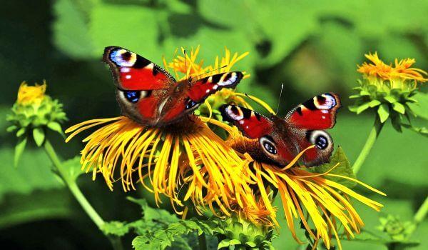 Фото: Пара бабочек павлиний глаз