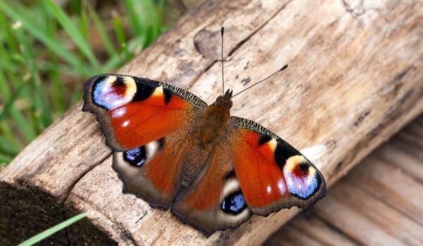Фото: Дневная бабочка павлиний глаз