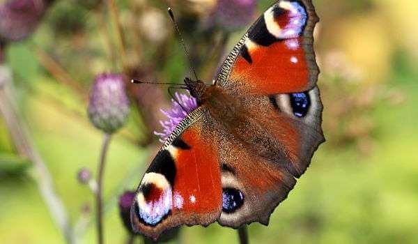 Фото: Бабочка павлиний глаз