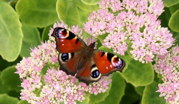 Фото: Яркая бабочка павлиний глаз