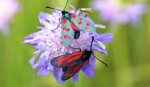 Фото: Пара бабочек пестрянок