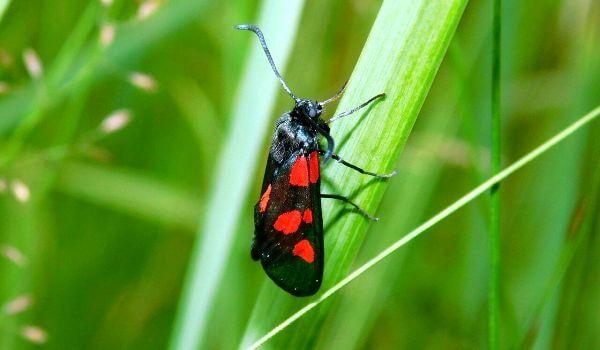Фото: Бабочка пестрянка