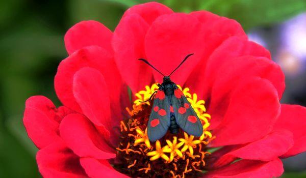 Фото: Бабочка пестрянка в России
