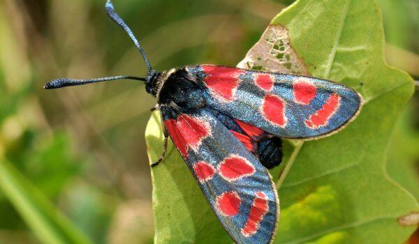 Фото: Бабочка пестрянка в природе