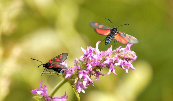 Фото: Бабочка пестрянка из Красной книги