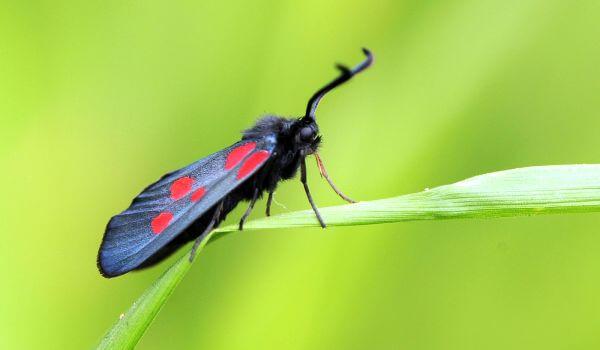 Фото: Ядовитая бабочка пестрянка