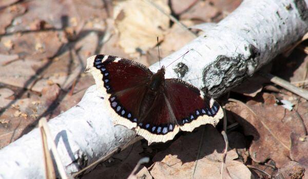 Фото: Бабочка траурница