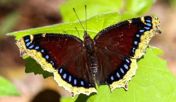 Фото: Бабочка траурница из Красой книги