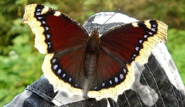 Фото: Бабочка траурница из Красной книги