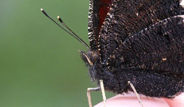 Фото: Дневная бабочка траурница