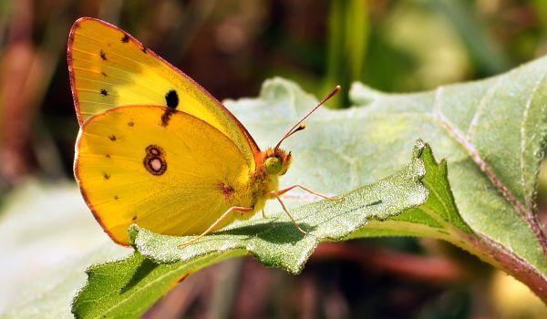 Фото: Бабочка желтушка обыкновенная